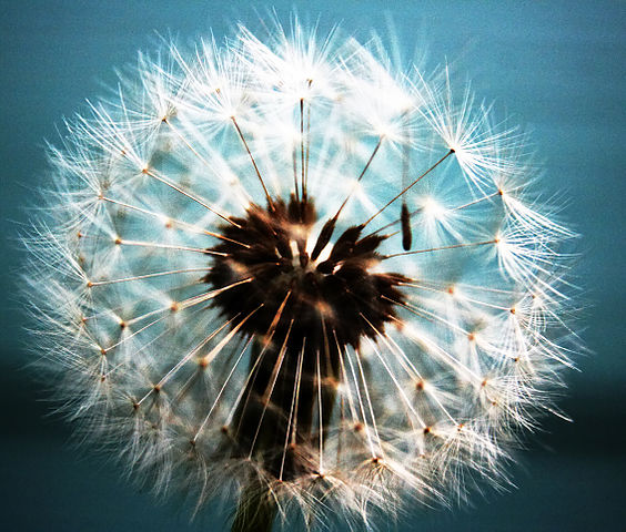 564px-Dandelion_abstract
