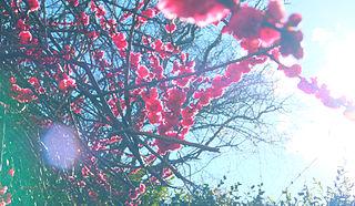 Cherry_Blossom_Tree_in_the_Sky
