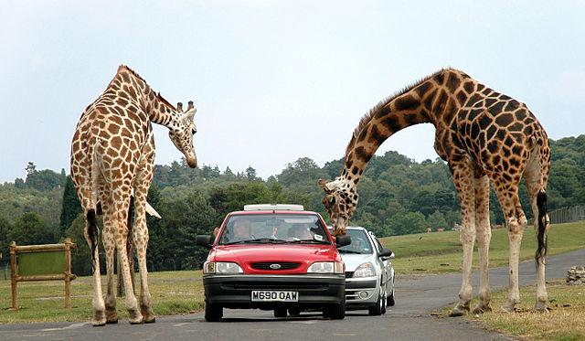 640px-Giraffes_at_west_midlands_safari_park